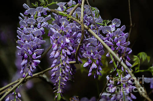 Dale Powell - Spring Wisteria