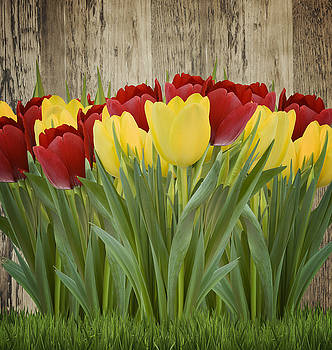 Spring Yellow and Red Tulips by Gillian Dernie