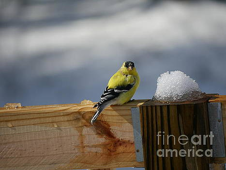 Spring Yellow Finch by Nancie DeMellia