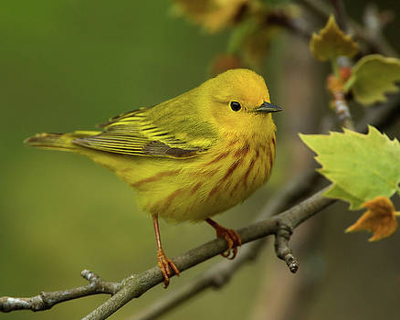Spring Yellow Warbler  by Timothy McIntyre