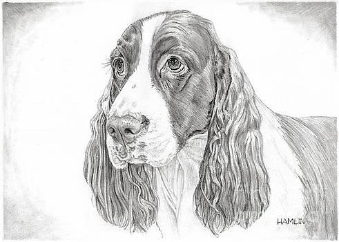 Springer Spaniel - Hobo by Steve Hamlin