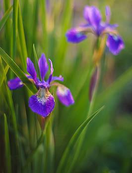 Mike Reid - Springs Irises Beauty