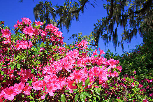 Jill Lang - Springtime Azaleas