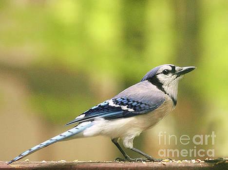 Springtime Blue Jay by Dorothy Lee