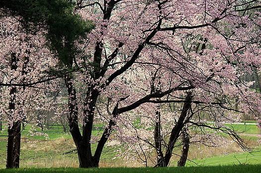 Rosanne Jordan - Springtime Cherry Blossoms