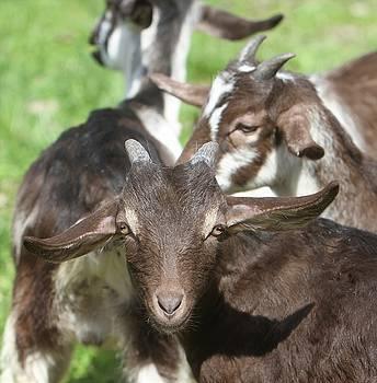 Springtime Goat Kids by Susie Gordon