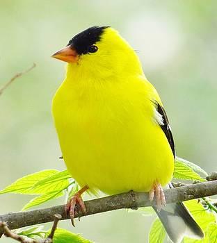 Springtime Goldfinch by Lori Frisch