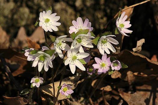 Rosanne Jordan - Springtime Hepatica Wildflowers