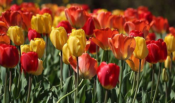 Rosanne Jordan - Springtime Tulip Song
