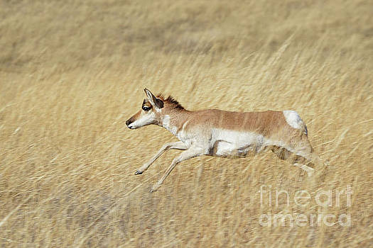 Sprinting pronghorn by Bill Gabbert
