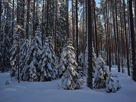 Spruce family by Jouko Lehto