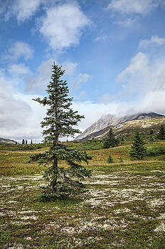 Spruce tree in summer by Michele Cornelius