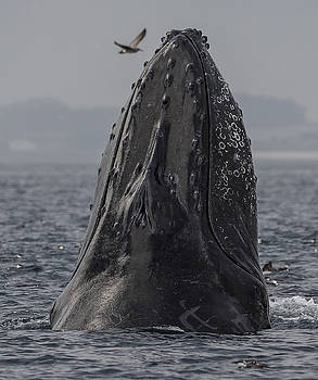 Spyhopping Humpback Whale in Monterey Bay by Don Baccus