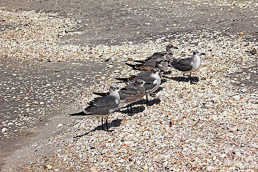 Debbie Oppermann - Squabble Of Gulls