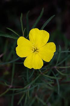 Square-Bud Primrose Flower by Steven Schwartzman
