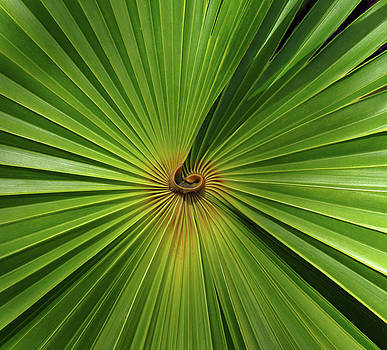 Square Palmetto Leaf by Rosalie Scanlon