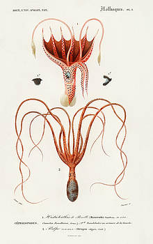 Squid and Octopus illustrated by Charles Dessalines by Charles Dessalines D' Orbigny