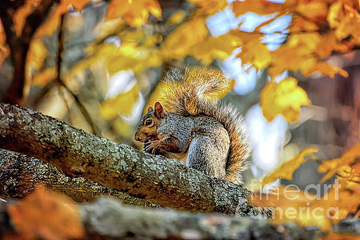 Squirrel in Autumn by Kerri Farley of New River Nature