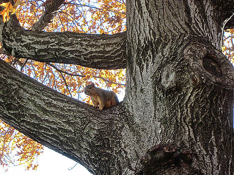 Squirrel in Tree by Janet K Wilcox