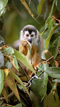 Squirrel Monkey Costa Rica by Joan Carroll