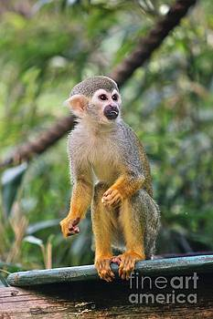 Squirrel Monkey by Vicki Spindler