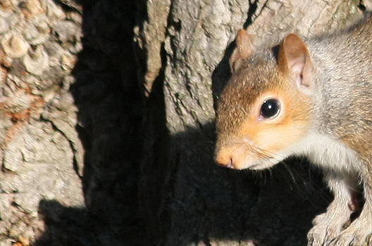 James E Weaver - Squirrel Perched