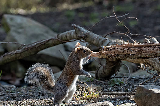 Squirrel Standing  by Joseph Caban