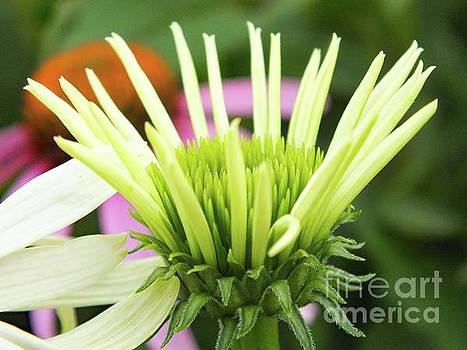Cindy Treger - Spreading Its Petals - White Coneflower