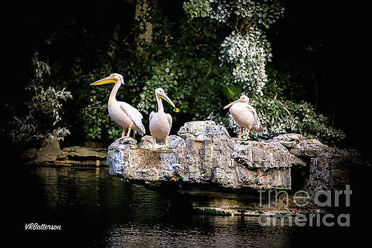 St James Park Pelicans by Veronica Batterson