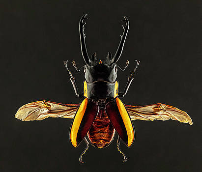 Stag Beetle by Gary Shepard