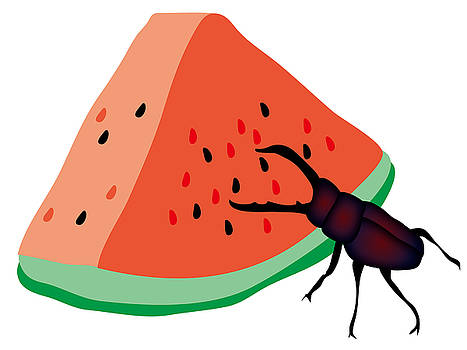 Stag beetle is eating a piece of red watermelon by Moto-hal