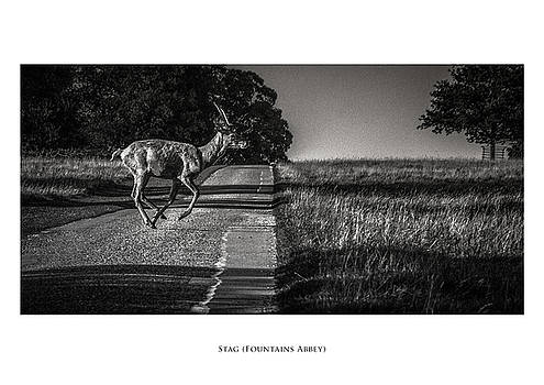 Stag by Phil Fiddyment