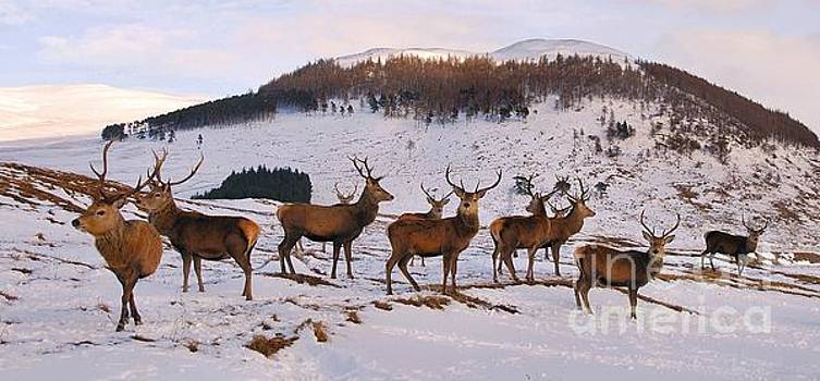 Stags Gathering by John Kelly