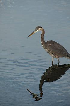 Karol Livote - Stalking Heron