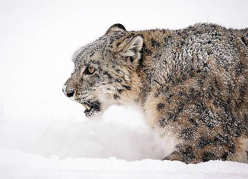 Stalking Snow Leopard by Athena Mckinzie