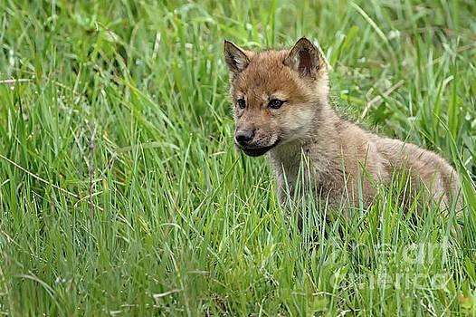 Stalking Wolf Pup by Tibor Vari