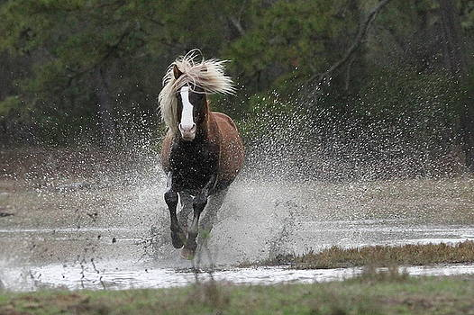 Stallion Coming In by Stacey Steinberg