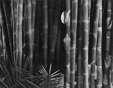 Stand of Bamboo by John Gilroy
