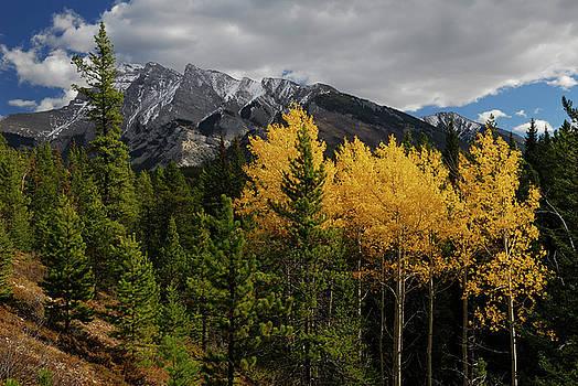 Reimar Gaertner - Stand of yellow Aspen trees in the Fall on a hillside near Lake