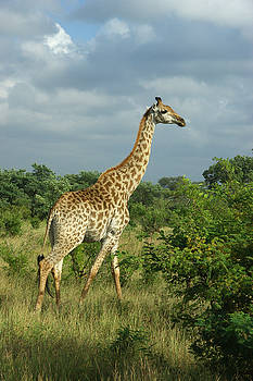 Standing Alone - Giraffe by Jeffrey Worthington