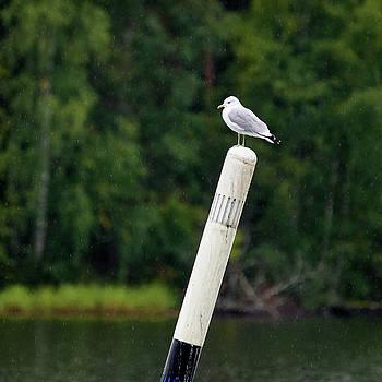 Standing the rain. Common gull by Jouko Lehto
