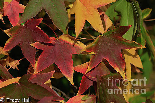 Star Maples by Tracy Hall