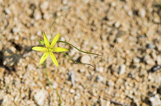 Michalakis Ppalis - Star of Bethlehem Yellow flower.