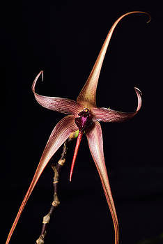 Reimar Gaertner - Star shaped Bulbophylllum echinolabium or Rat Tail orchid flower