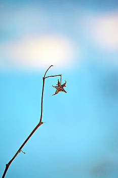 Star-shaped withered flower on a sunny winter day by Ulrich Kunst And Bettina Scheidulin