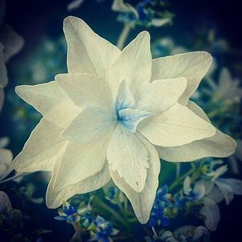 Star Flower by Sharon Halteman