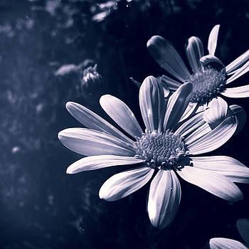 Stardust Daisies by Lynsie Petig