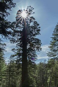 Jan Hagan - Stared Tallest trees in Yosemite