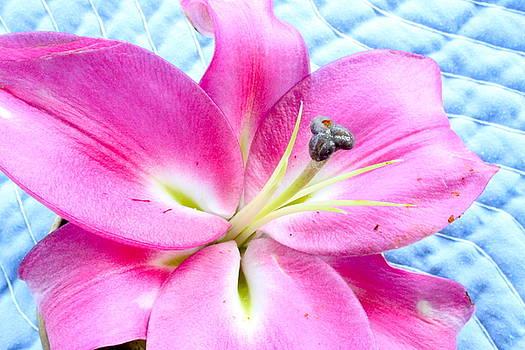 Stargazer Lily by Nancy Furstinger