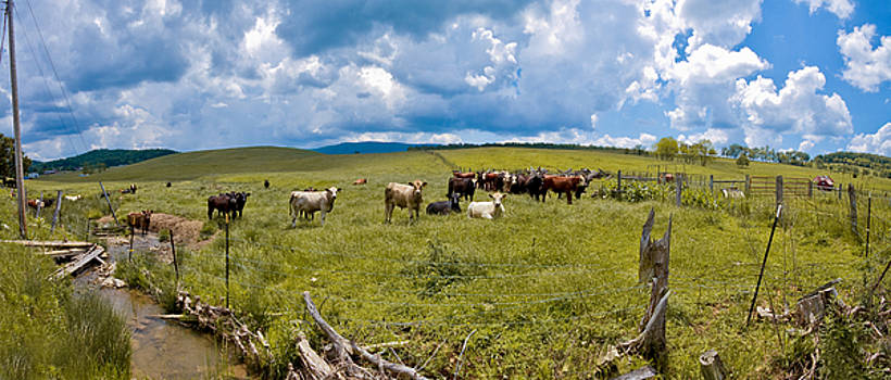 Staring Cows by Jason Rossi
